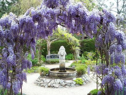 Обои Цветущая весной глициния с перехлестнувшими ветками в форме шатра, стоящая рядом с фонтаном в парке