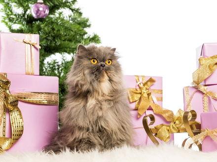 Обои Персидский кот сидит спиной к елке и подаркам