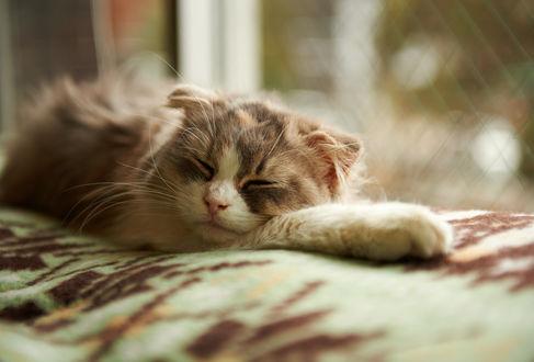 Обои Пушистая кошка спит