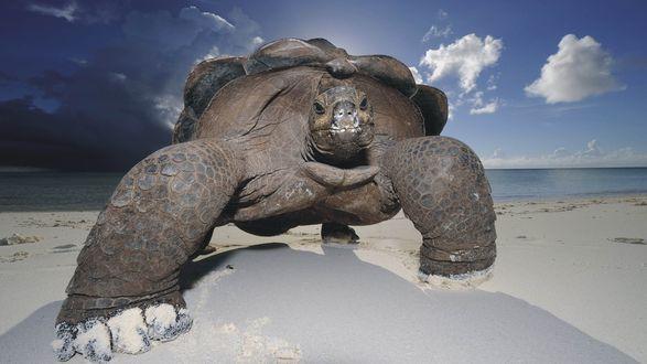 Обои Большая морская черепаха на песчаном берегу на фоне пасмурного неба