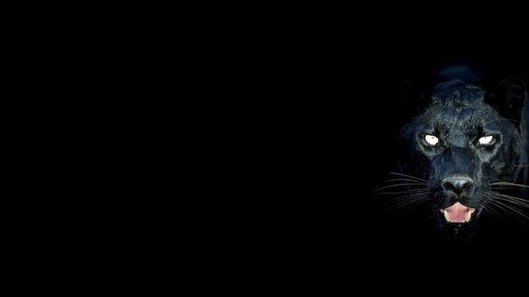 Обои Голова черной пантеры на черном фоне