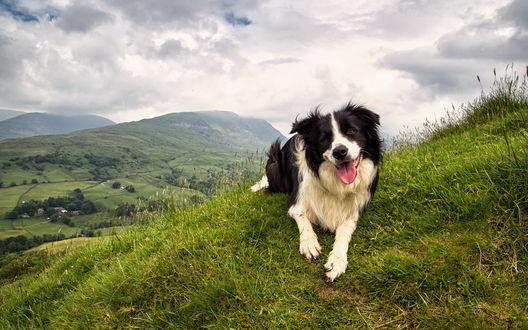 Обои Собака лежит в траве