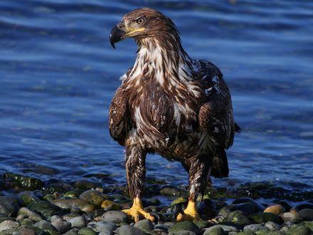 Обои Слегка намокший орел стоит на берегу моря с мелкой галькой