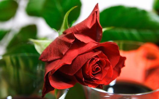 Обои Веточка красной розы
