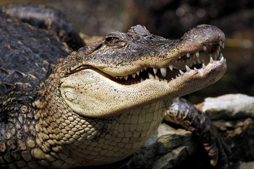 Обои Крокодил крупным планом