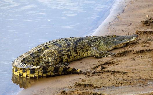 Обои Крокодил лежит на песчаном берегу реки