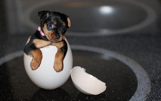 Обои Щенок сидит в яйце