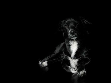 Обои Черная собака с белой грудкой лежит на черном фоне