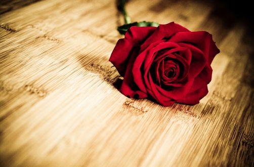 Обои Красная роза лежит на полу
