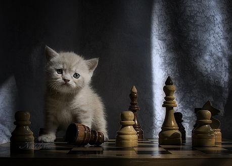 Обои Серый котенок, сидящий на доске с шахматными фигурами, автор Nateletro
