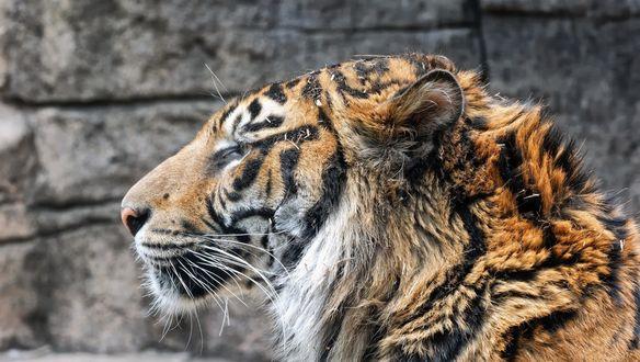 Обои Взъерошенная голова тигра