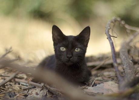 Обои Черный котенок лежит среди сухих листьев и веток