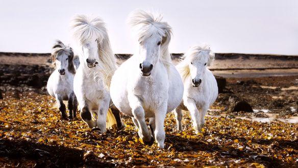 Обои Четыре белых Исландских коня, фотограф Артур Самуель Моул / Arthur Samuel Mole