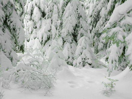 Обои Пушистый белый снег на елях