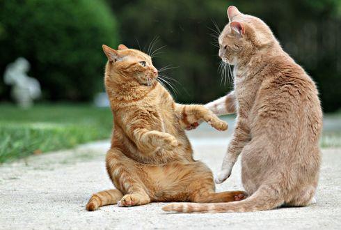 Обои Два рыжих кота удивленно смотрят на друг друга