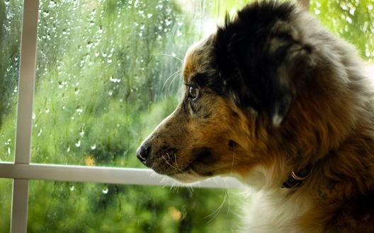 Обои Собака смотрит в окно, за которым идет дождь