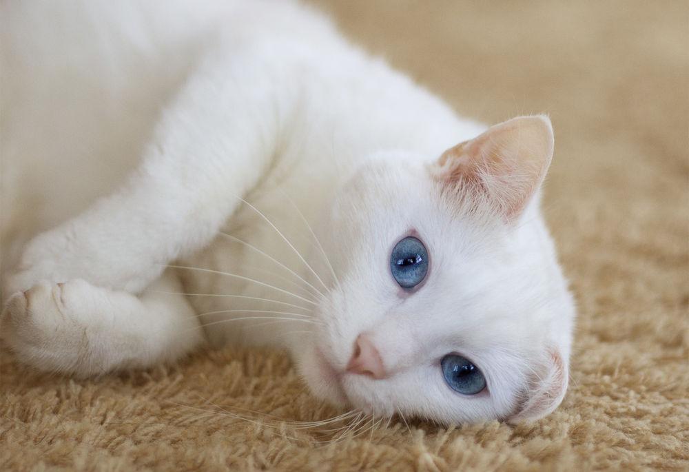 Скачать картинки белого кота с голубыми глазами