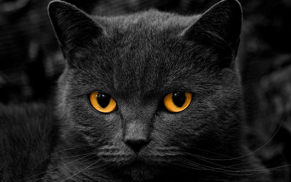 Темно серый кот с желтыми
