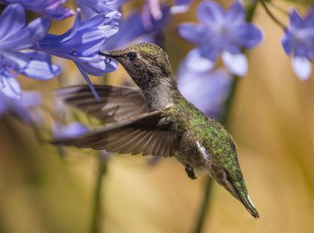 Обои Колибри пьет нектар из цветка