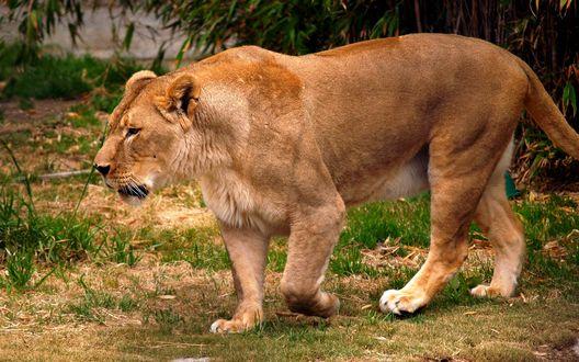 Обои Молодой лев смотрит в сторону