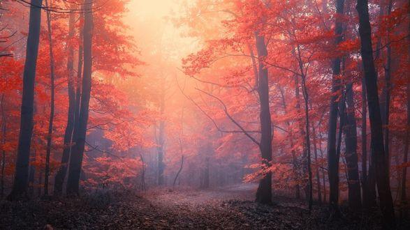Обои Дорога в багряном осеннем лесу в тумане, фотограф janek sedlar