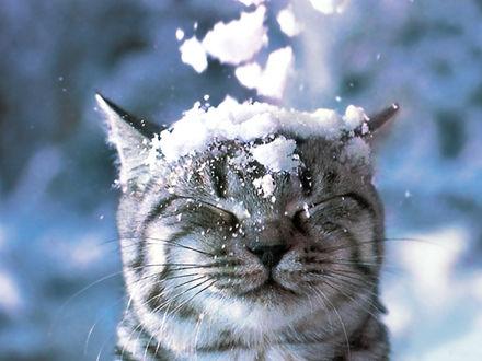 Обои Снег комьями упал на голову серому полосатому коту, закрывшему от неожиданности глаза