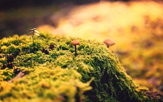 Обои Через мох пробиваются поганки