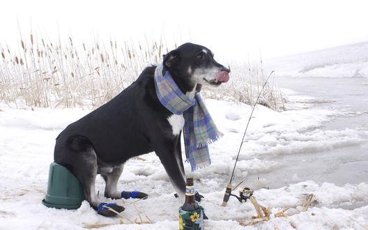 Обои Собака окутанная на шее шарфом, сидит на ведре и рыбачит