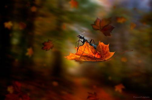 Обои Черный муравей, сидящий на осеннем листочке, парящим над землей, автор Ирина Козорог