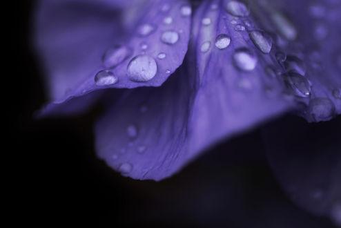 Обои Сиреневые лепестки в капельках росы