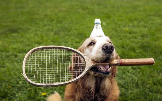 Обои Собака, сидящая на зеленой траве держит в зубах ракетку от бадминтона, на голове у нее лежит волан