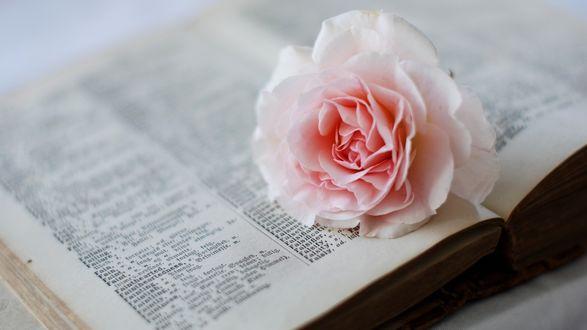 Обои Нежная чайная роза лежит на открытой книге