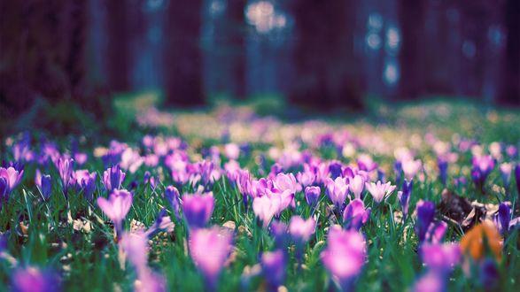 Обои Поляна фиолетовых крокусов в лесу, фотограф Parric Ruegheimer