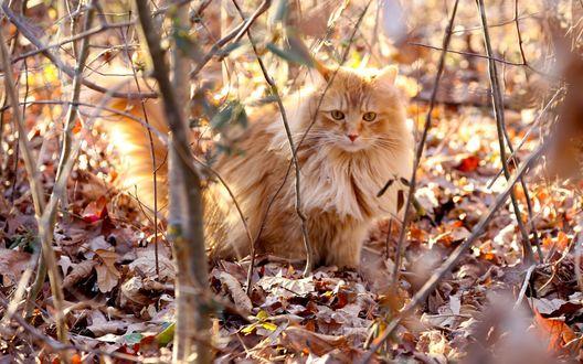 Обои Рыжий кот сидит на сухой листве