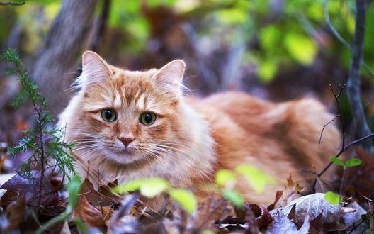 Обои Рыжий кот лежит на сухой листве