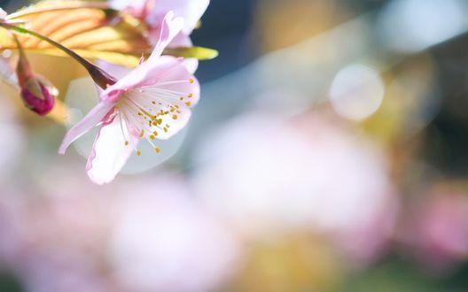 Обои Яблоневые цветы крупным планом