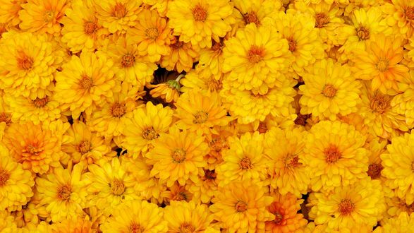 Обои Большое количество желтых цветов