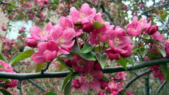 Обои Цветущее весной фруктовое дерево