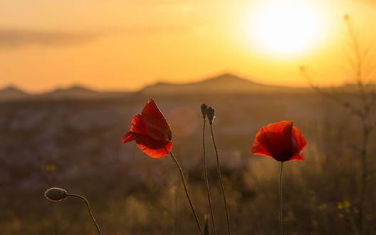 Обои Красные цветы мака на фоне заката