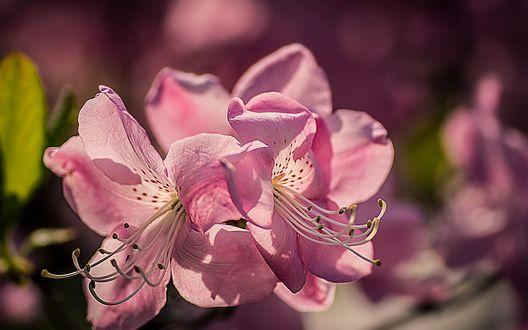 Обои Розовые цветы крупным планом