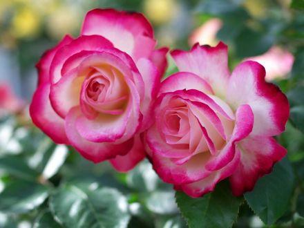 Обои Две розово - белые розы