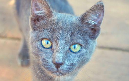 Обои Серый котенок с желтыми глазами