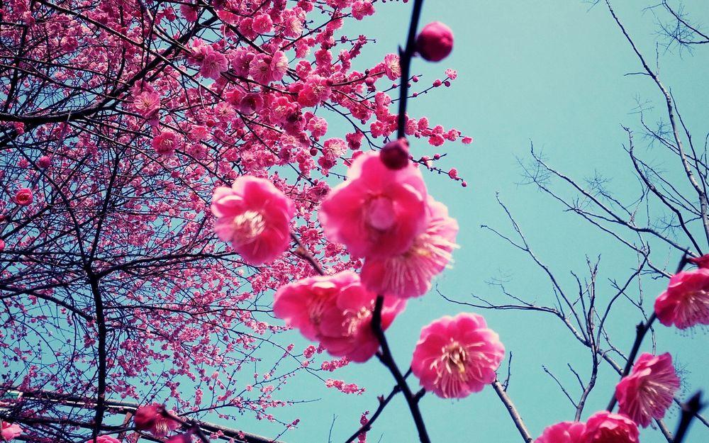 Обои на телефон сакура в цвету