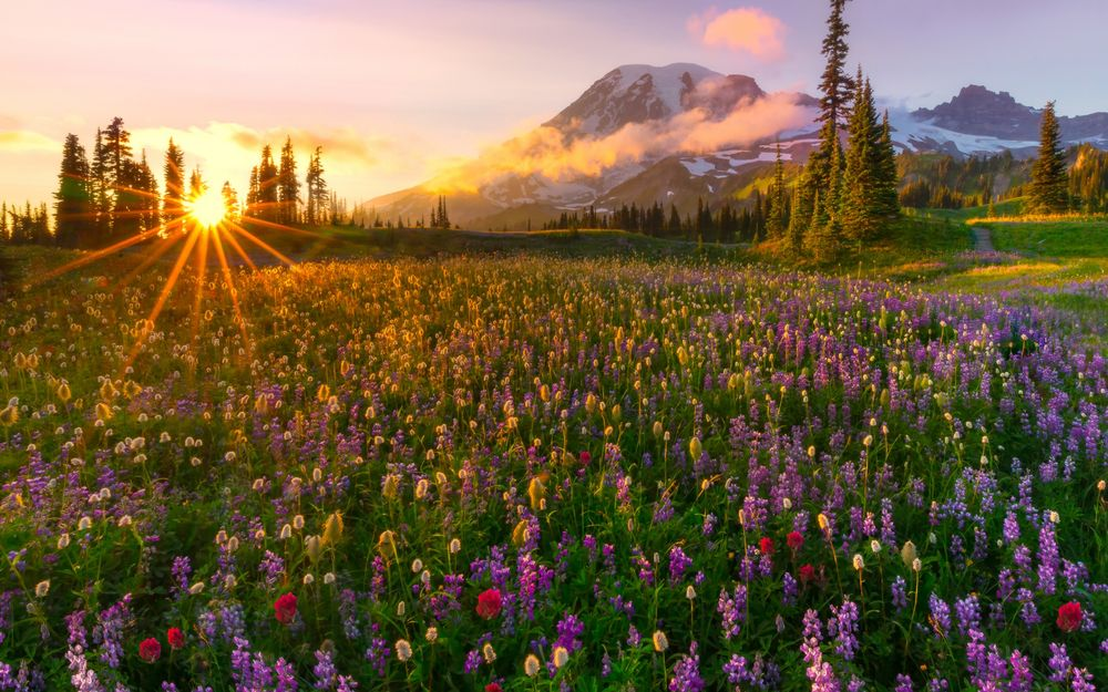 Обои для рабочего стола Восходящее из-за линии горизонта солнце на утреннем небосклоне с небольшой облачностью осветило своими лучами цветочный луг с разными полевыми цветами, Rainier, Mazama Ridge / Рейнир, Mazama Ридж, фотограф Kevin McNeal
