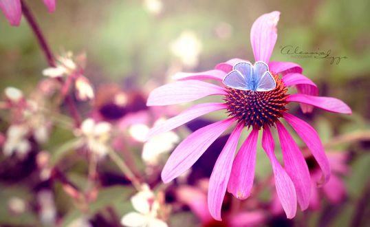 Обои Бабочка сидит на цветке, фотограф Alessia Izza