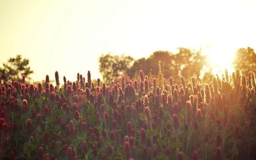 Обои Цветочное поле на рассвете
