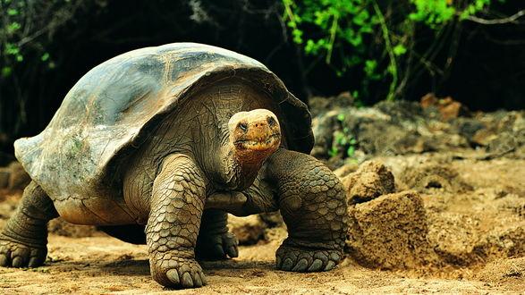 Обои Гигантская пожилая черепаха