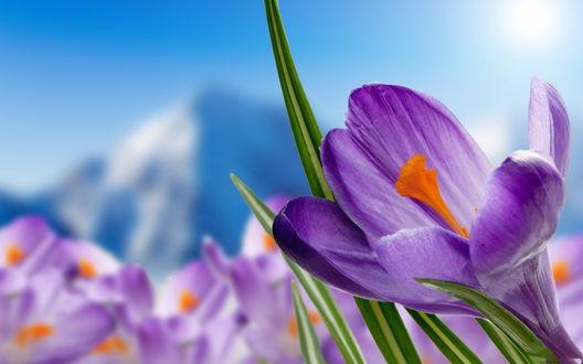 Обои Весенние фиолетовые крокусы на размытом фоне неба и горной вершины со снежной шапкой