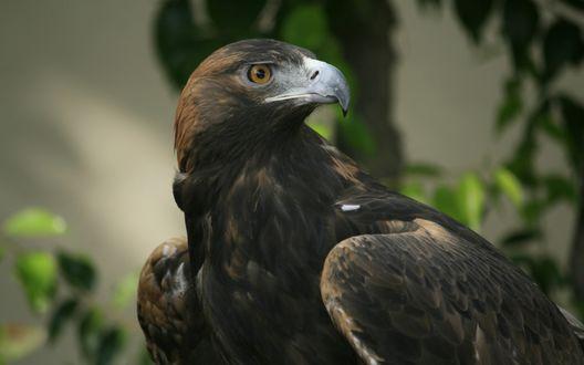 Обои Орел в профиль