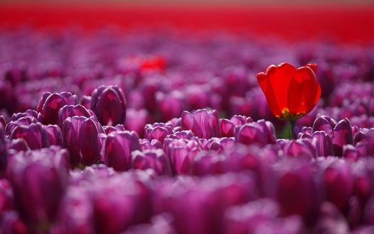 Обои Несколько алых тюльпанов, растущих среди большого количества фиолетовых тюльпанов